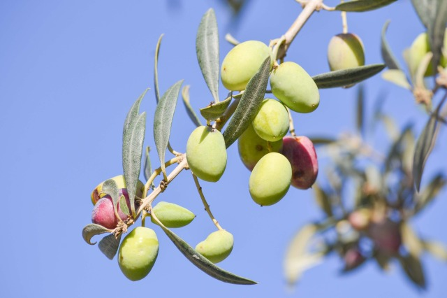 olive-1925256_1920